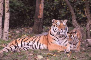 Tiger children's books